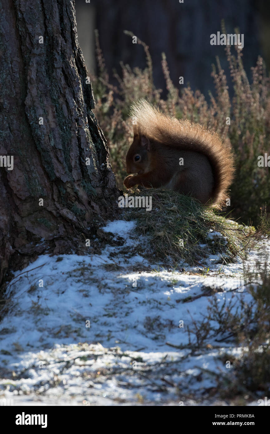 A Red Squirrel Sciurus Vulgaris Forraging For Food On The