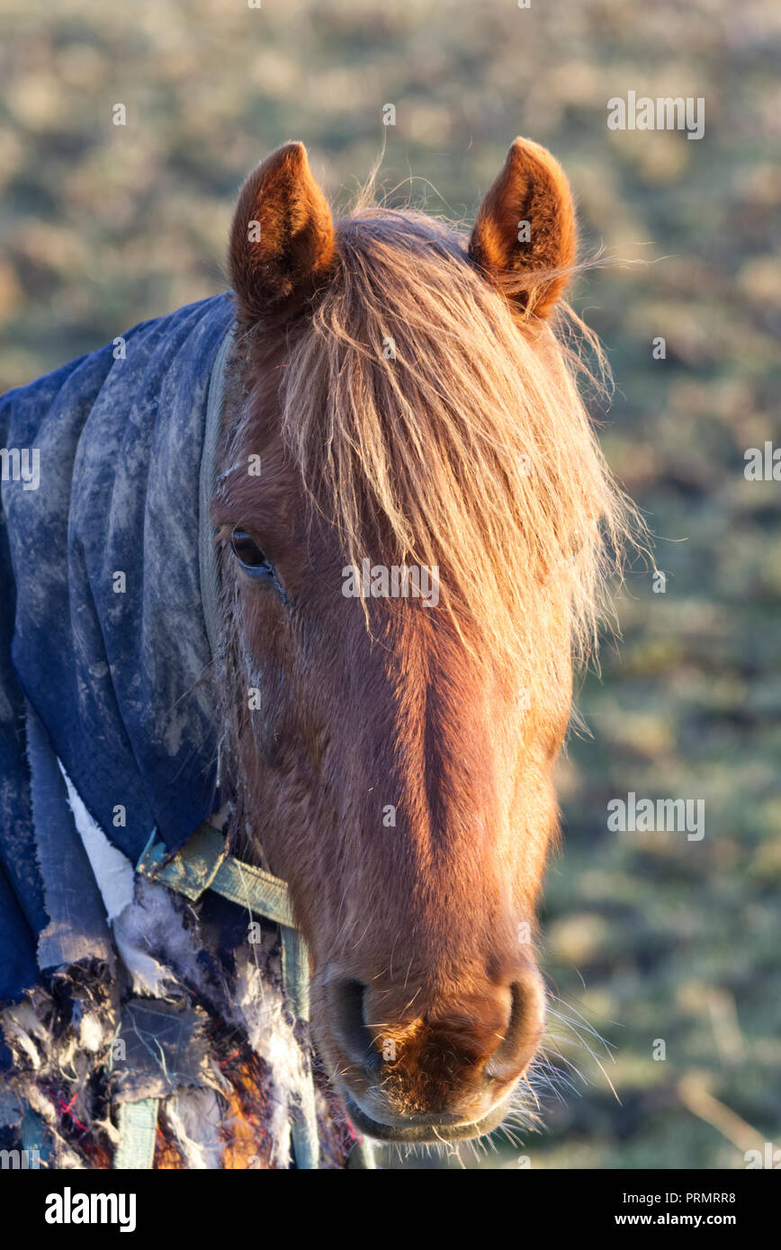 Horse in winter wearing a shawl - Stock Image