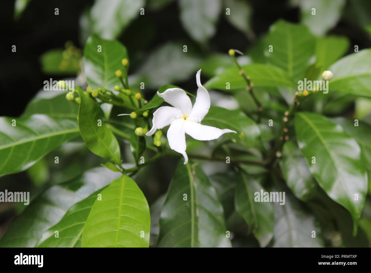 A beautiful White Flower. a beauty to watch close up of this flower it its real form.dedicated to those who love white as their sign of positiveness. - Stock Image
