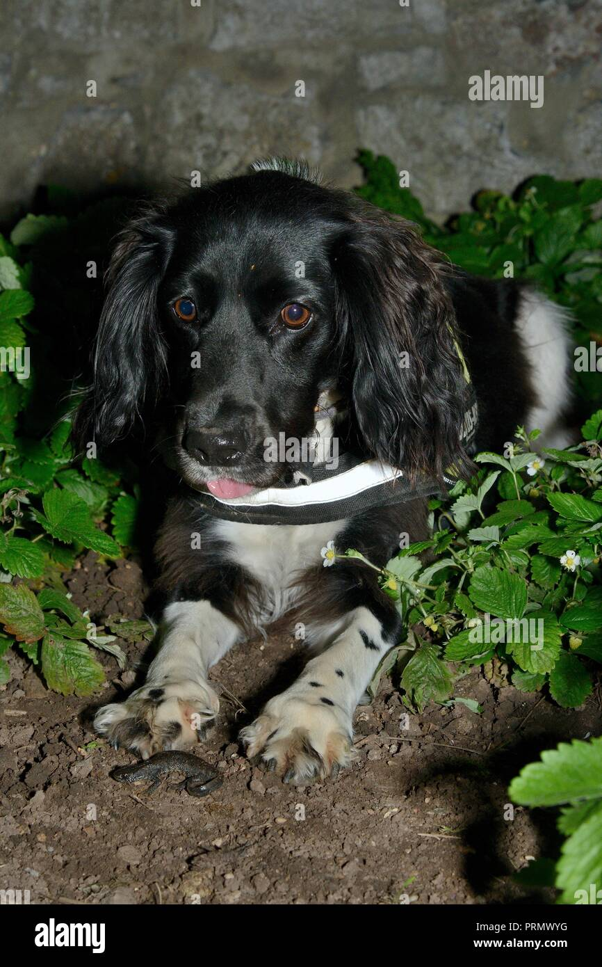 Sniffer dog Freya sitting beside a Great crested newt (Triturus cristatus) she found in a flowerbed after dark on a training exercise, Somerset, UK - Stock Image