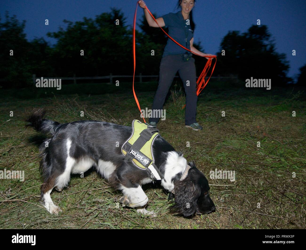 Sniffer dog Freya with Nikki Glover of Wessex Water hunting for Great crested newts (Triturus cristatus) in a meadow after dark, Somerset, UK - Stock Image