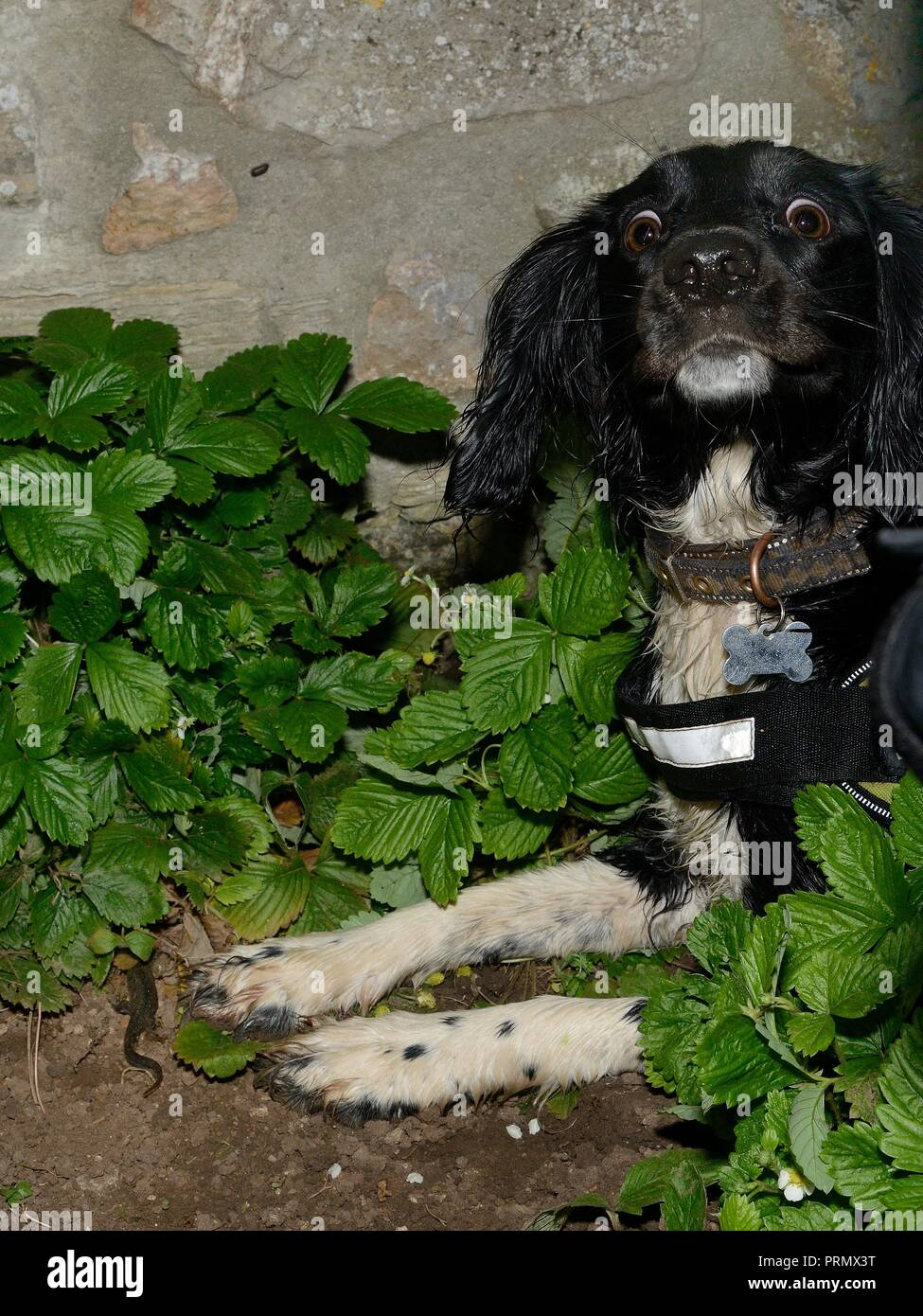 Sniffer dog Freya sitting by a Great crested newt (Triturus cristatus) she found in a garden during a training exercise for Wessex Water, Somerset, UK - Stock Image