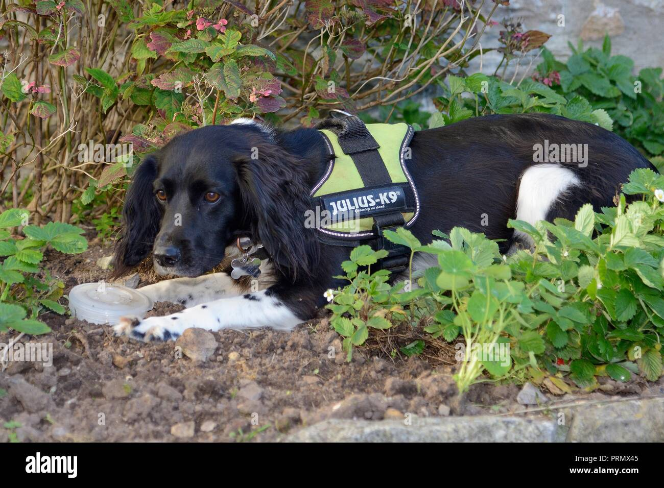 Sniffer dog Freya sitting by a plastic pot containing a Great crested newt (Triturus cristatus) she found during a training exercise for Wessex Water. - Stock Image