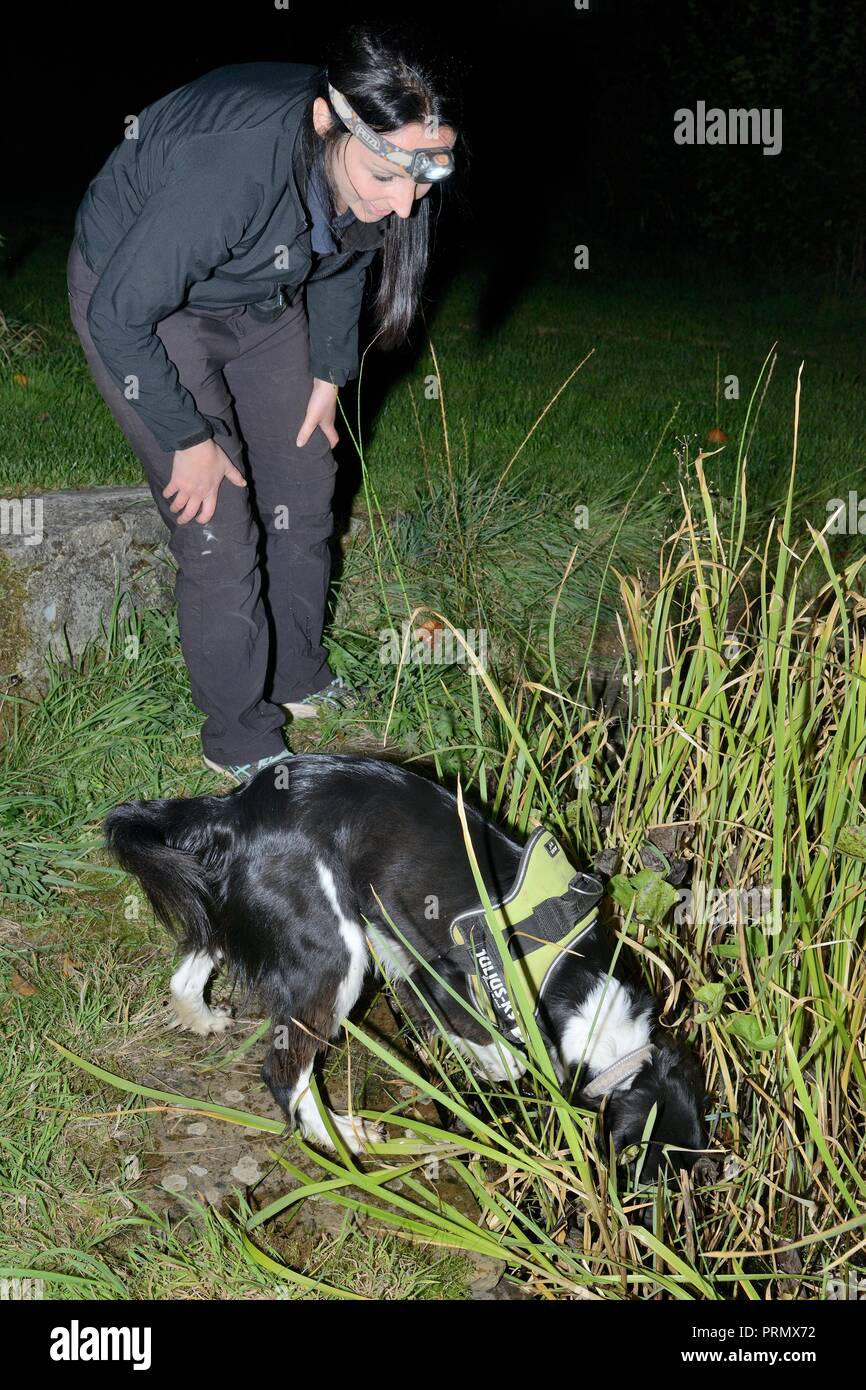 Nikki Glover of Wessex Water watching sniffer dog Freya as she hunts for Great crested newts (Triturus cristatus) around a pond at night, Somerset, UK - Stock Image