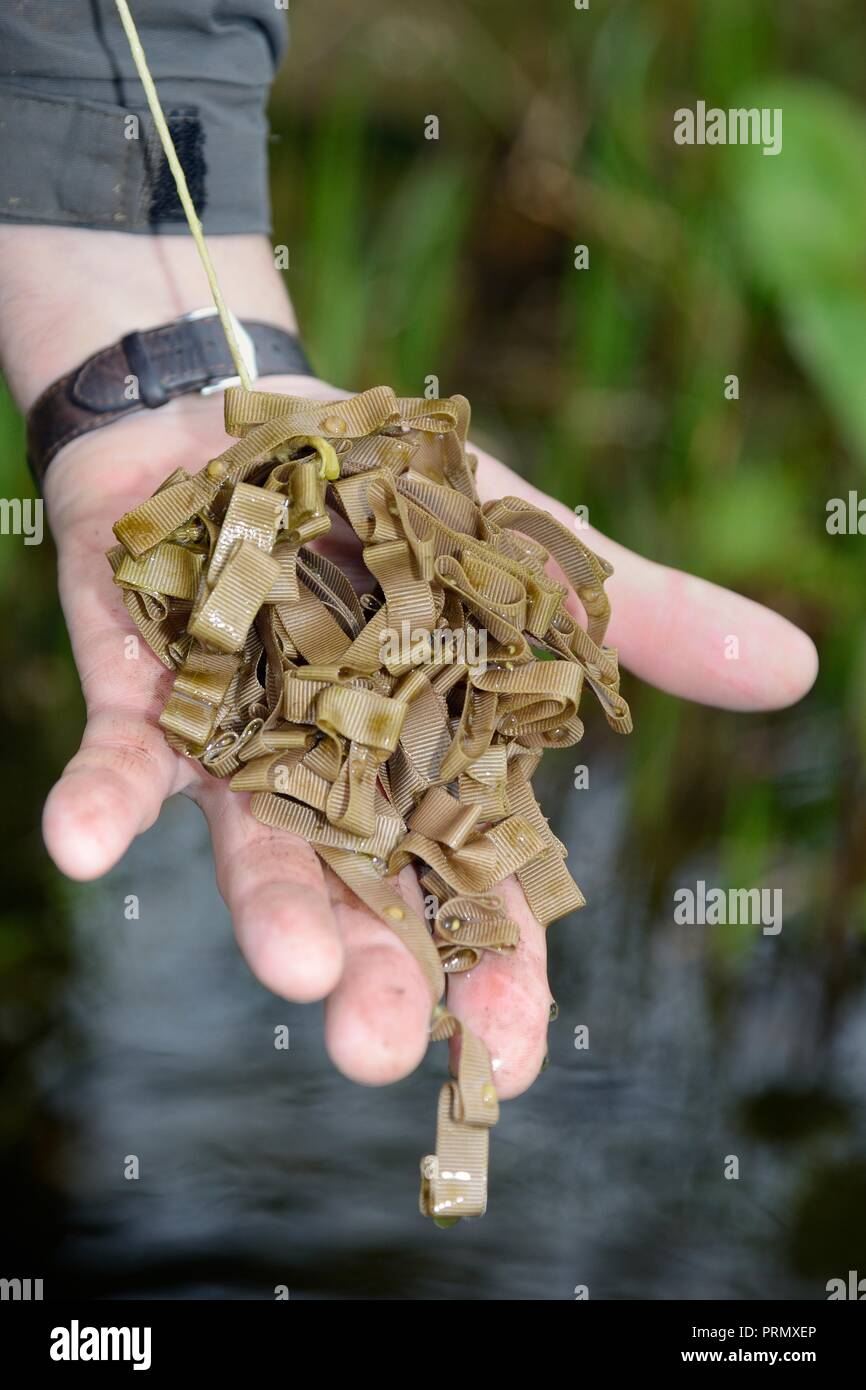 Newt eggs found on a 'spawning mop' made of a bundle of cloth left in a pond for female newts to lay eggs on, near Wells, Somerset, UK, April 2018. - Stock Image