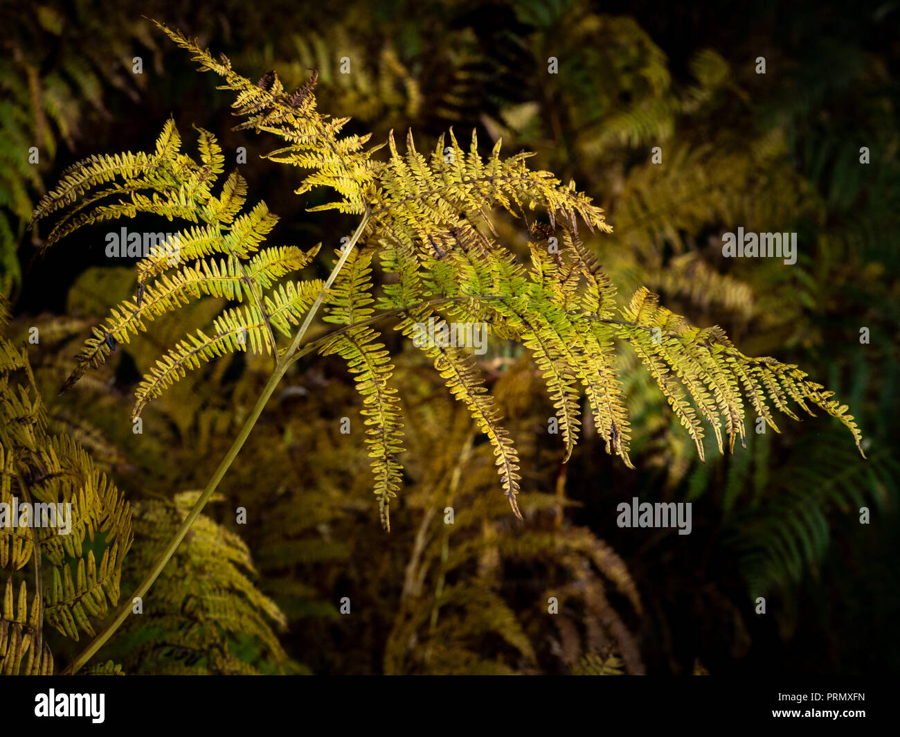 In late summer early autumn the bracken (Pteridium aquilinum) starts to turn first a beautiful golden colour and then then brown. Stock Photo