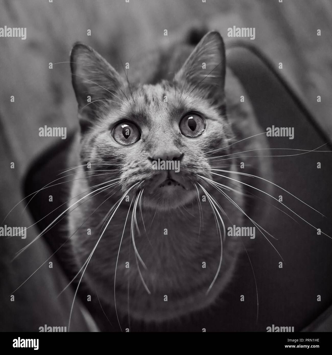 Cute tabby cat looking curious up to the camera. Black and white portrait. - Stock Image