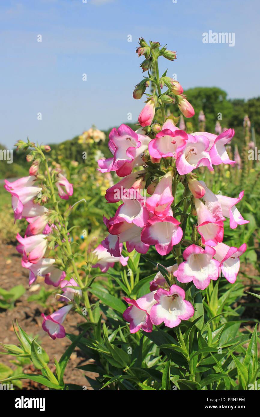 Penstemon Phoenix (Plantaginaceae) - Stock Image