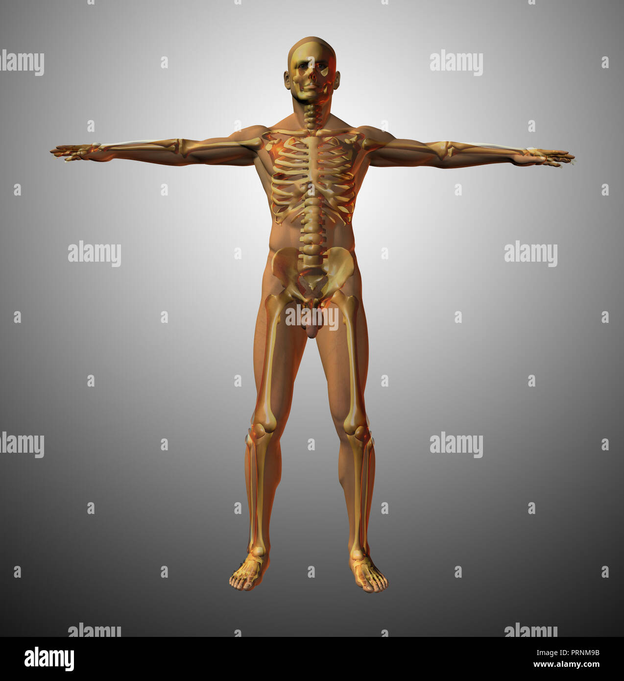 Human Body Anatomy Organs Full Figure Stock Photos Diagram Adult Male Anatomical Model 3d Rendering Image