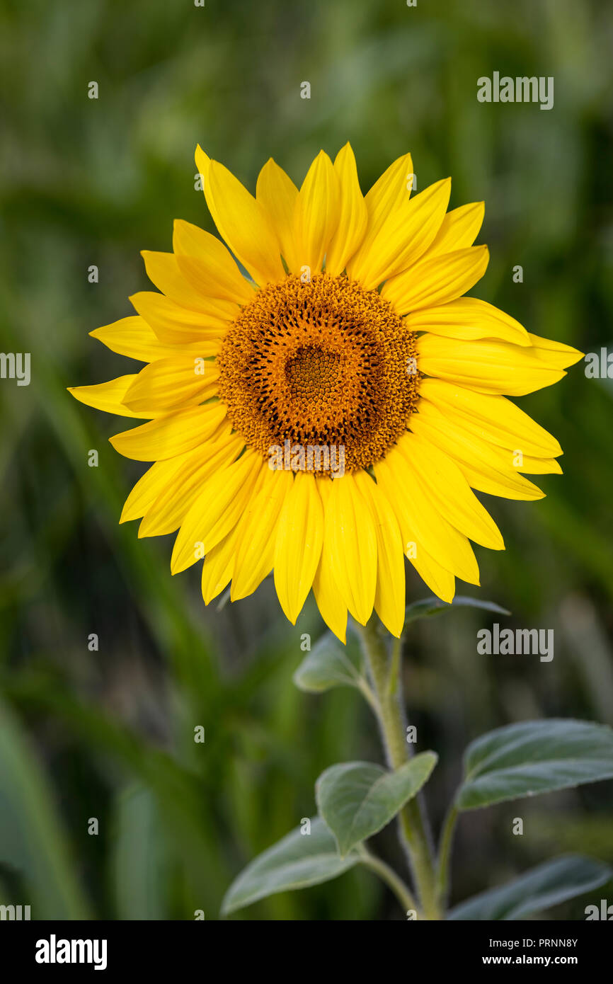 Close up of a single sunflower - Helianthus annuus flowerhead, flowering in an English garden - Stock Image