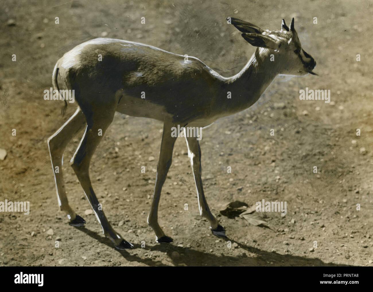 Soemmering gazelle, 1930 - Stock Image