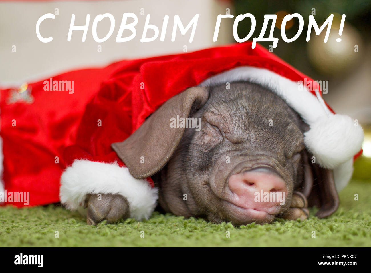 christmas and new year card with cute newborn smiling santa piglet decorations symbol of the year chinese calendar fir on background russian words