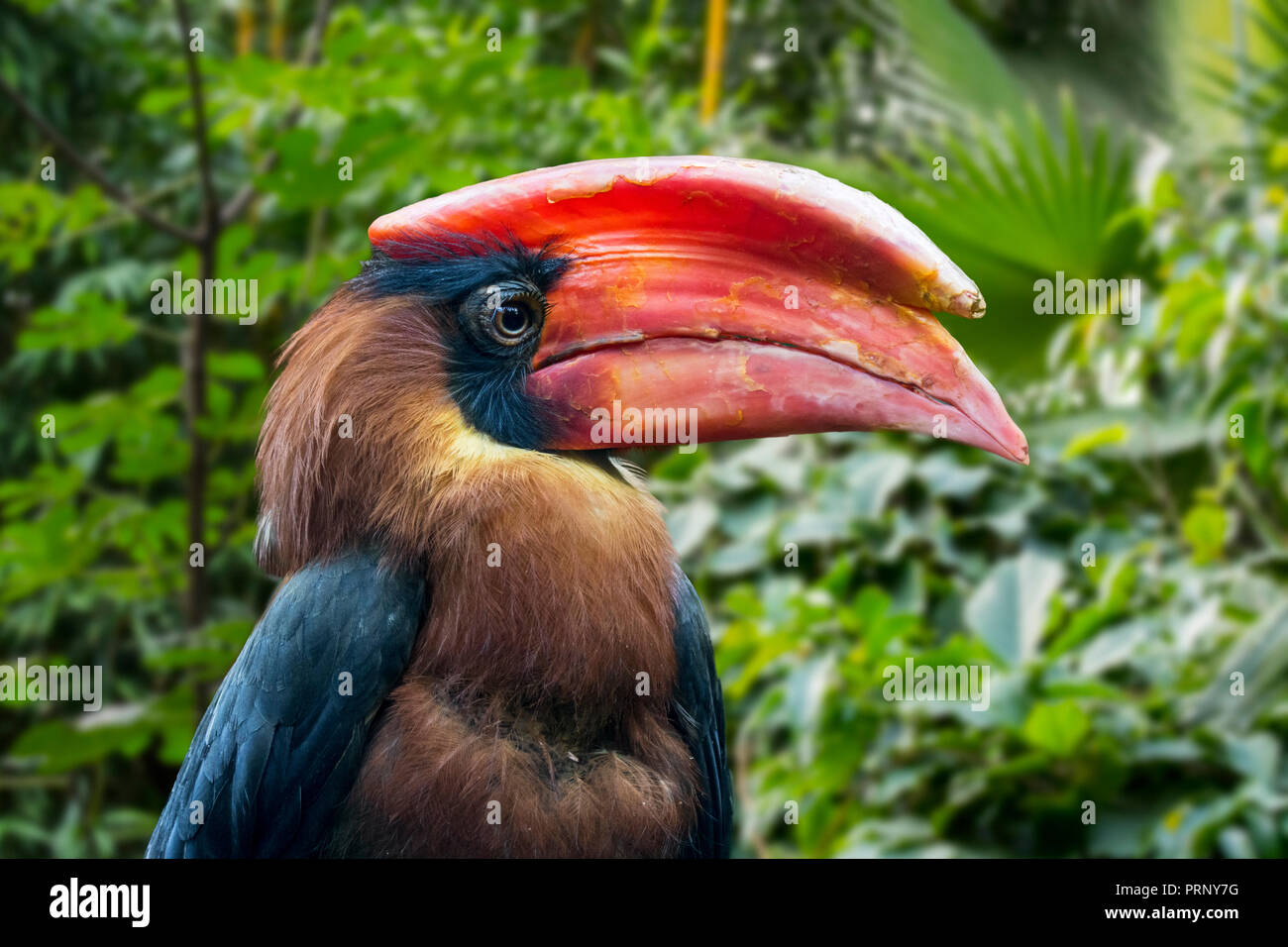 Rufous hornbill / Philippine hornbill / kalaw (Buceros hydrocorax) endemic to the Philippines - Stock Image