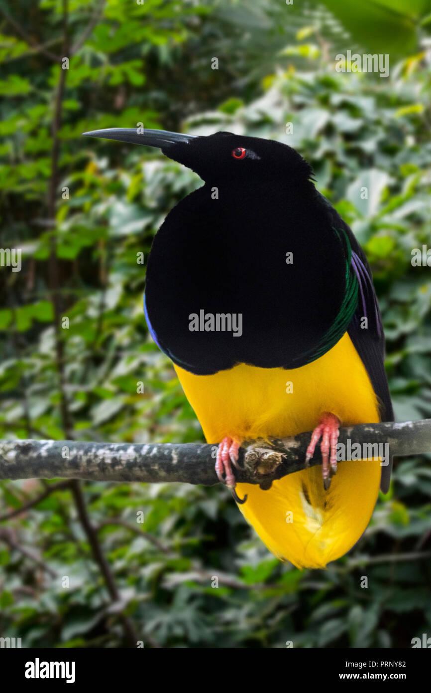 Twelve-wired bird-of-paradise (Seleucidis melanoleucus) male perched in tree, native to New Guinea and Salawati Island, Indonesia - Stock Image