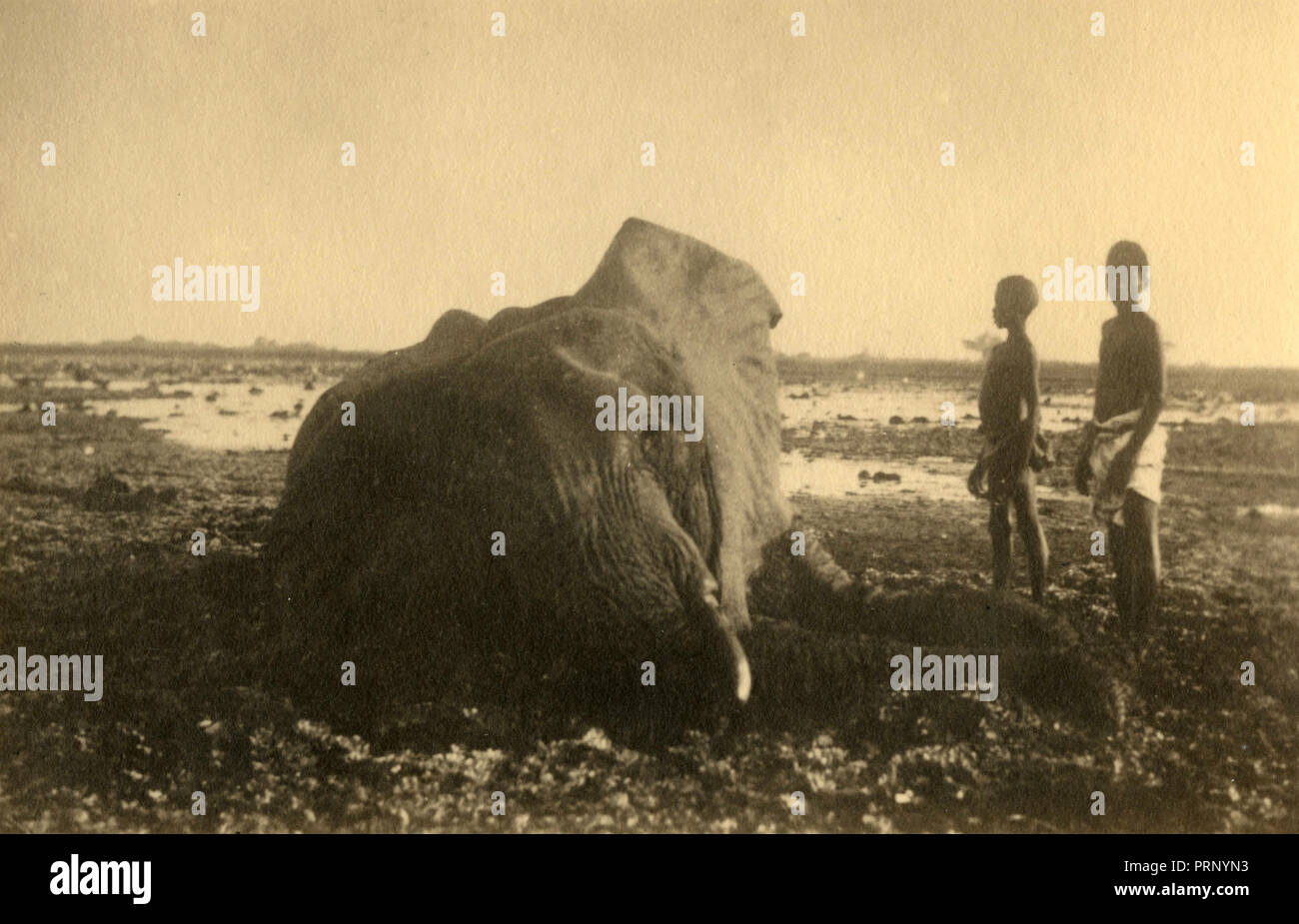 A killed elephant, Gelito 1933 - Stock Image