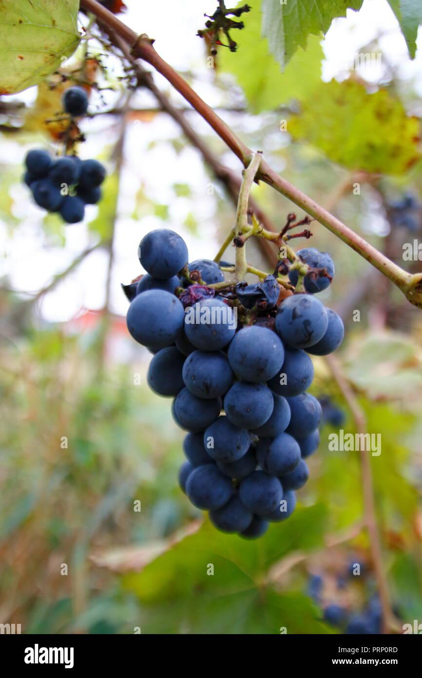 Blaue Trauben mit Blättern, an einem Rebstock, im Herbst, ranken an einem Spalier Stock Photo