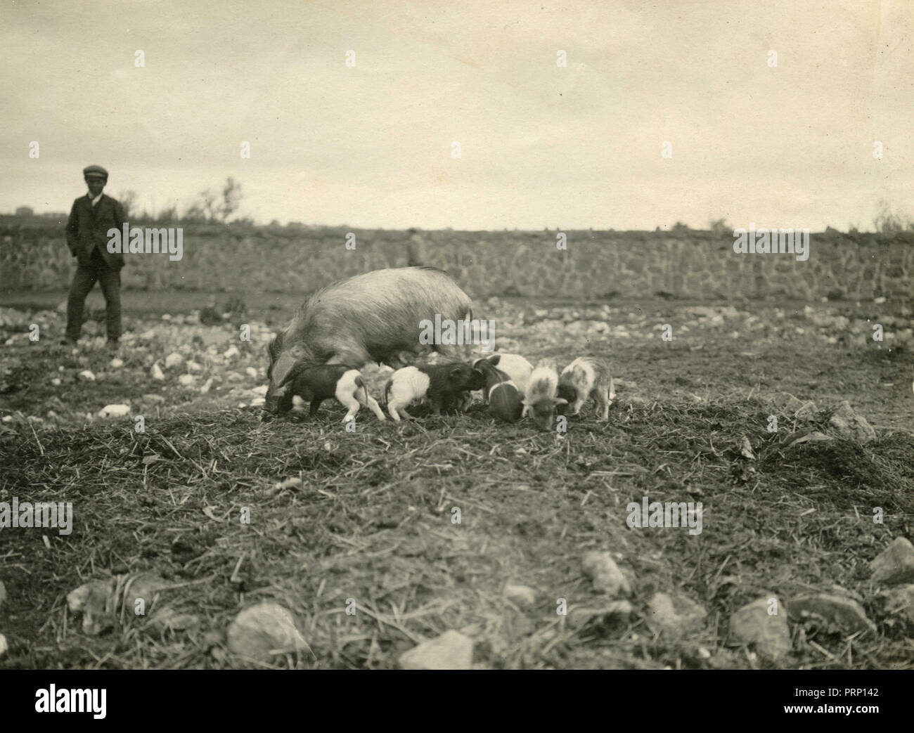 Sicilian countryside: pigs, Italy 1908 - Stock Image