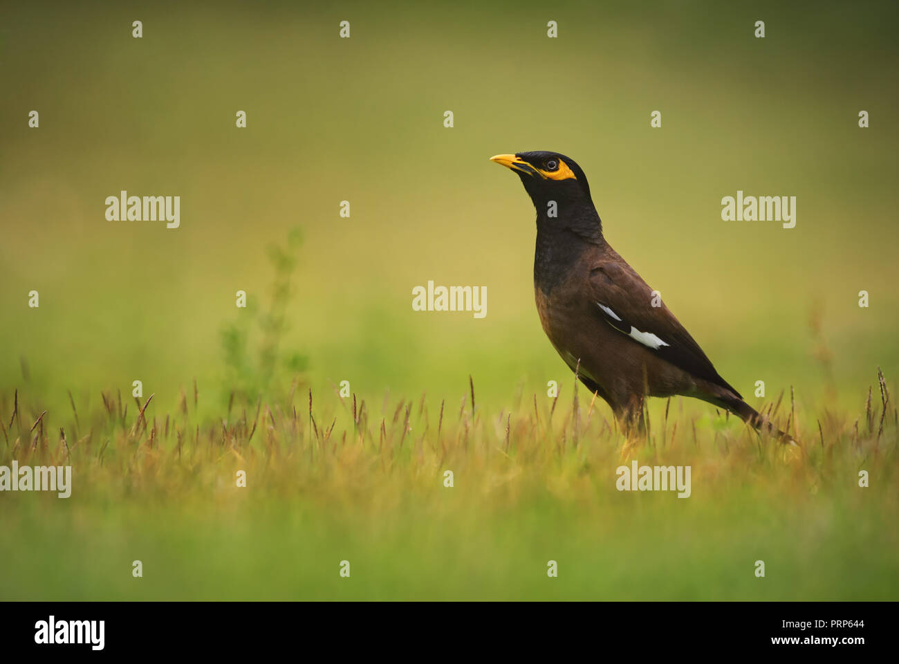 Common Myna - Acridotheres tristis, common perching bird from Asian gardens and woodlands, Thailand. - Stock Image