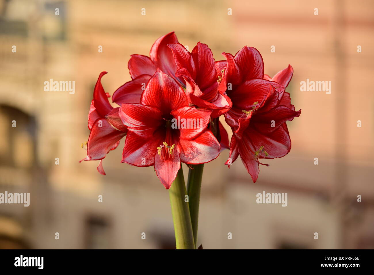 A bunch of Charisma Amaryllis flowers, from two stems coming out of the same bulb. White red petals with pollen stamens. Gardening, roof garden, Malta - Stock Image