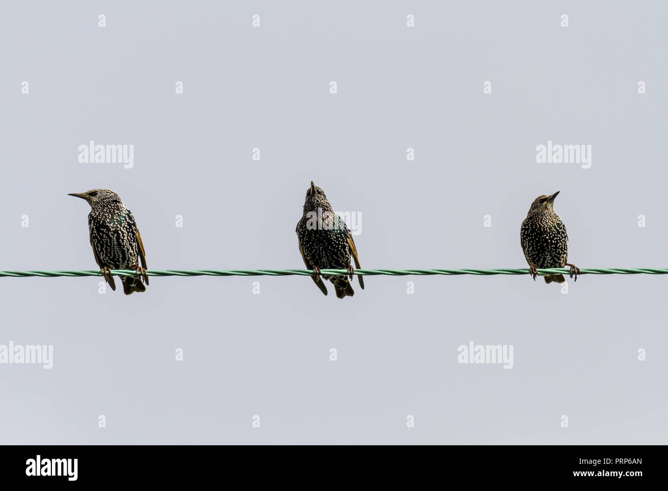 Three starlings in winter plumage with white speckled chests sitting on a wire, UK - Stock Image