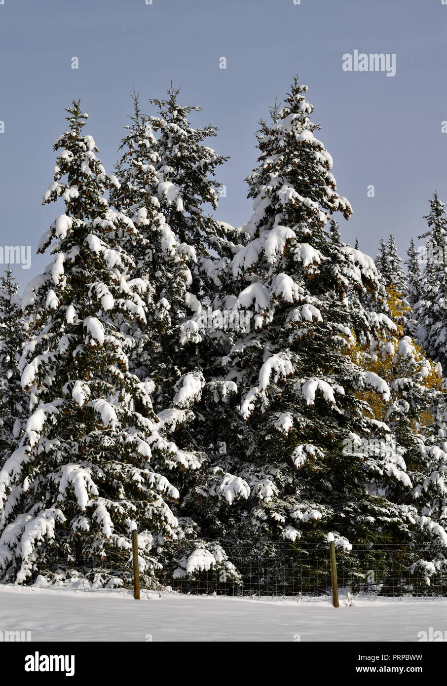 Trees bend under the weight of the first snow fall of the year. - Stock Image