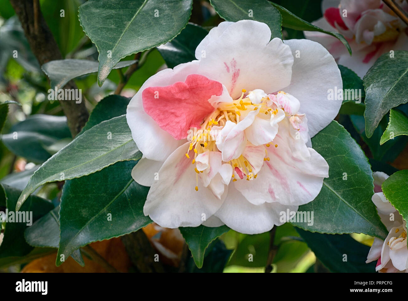 Camellia japonica cv Pomponia Semi-duplex; Theaceae; evergreen shurb; semi-double flower; white beckground with red stripes - Stock Image