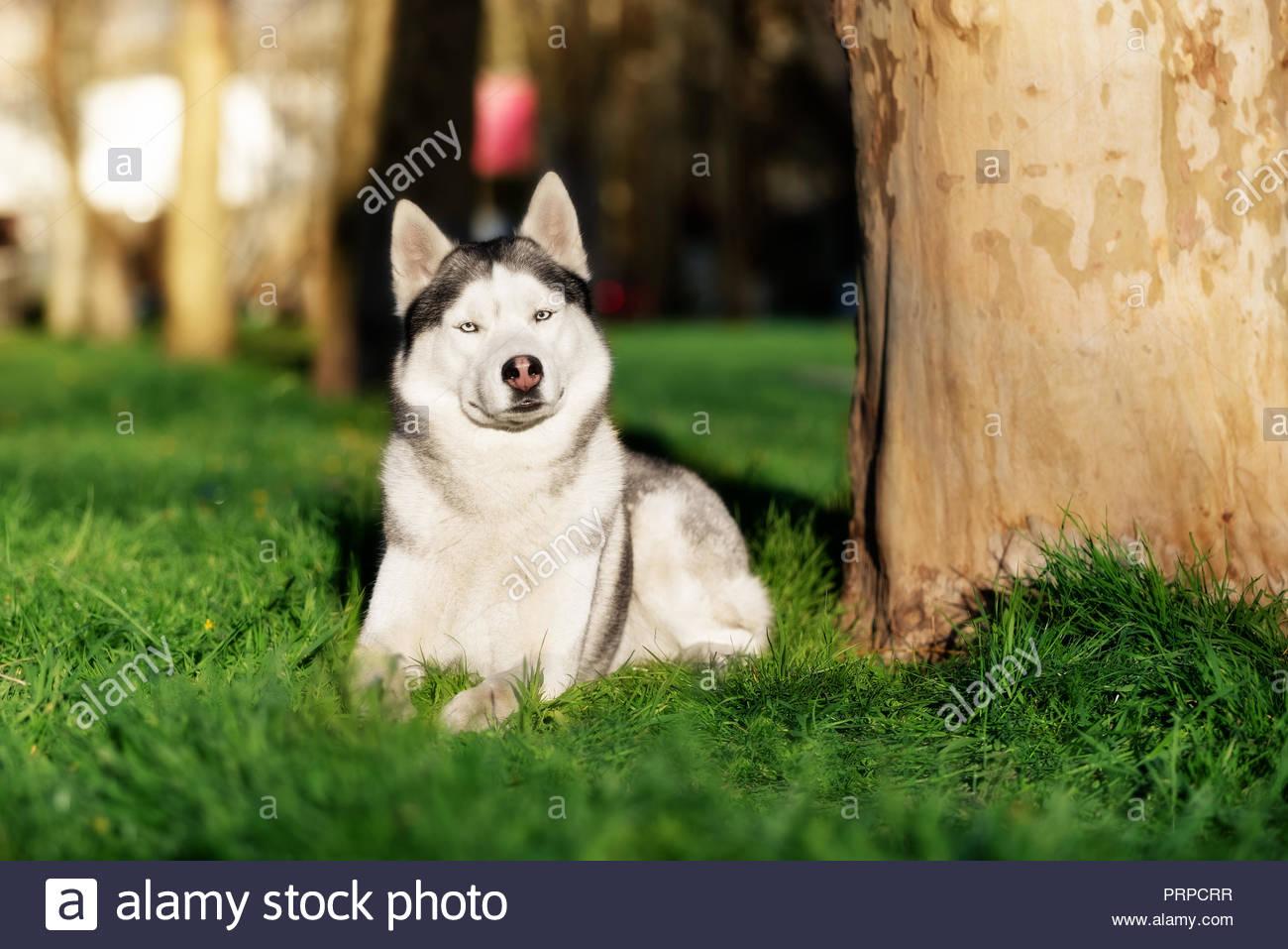 A Beautiful Mature Siberian Husky Male Dog Is Lying Down On The