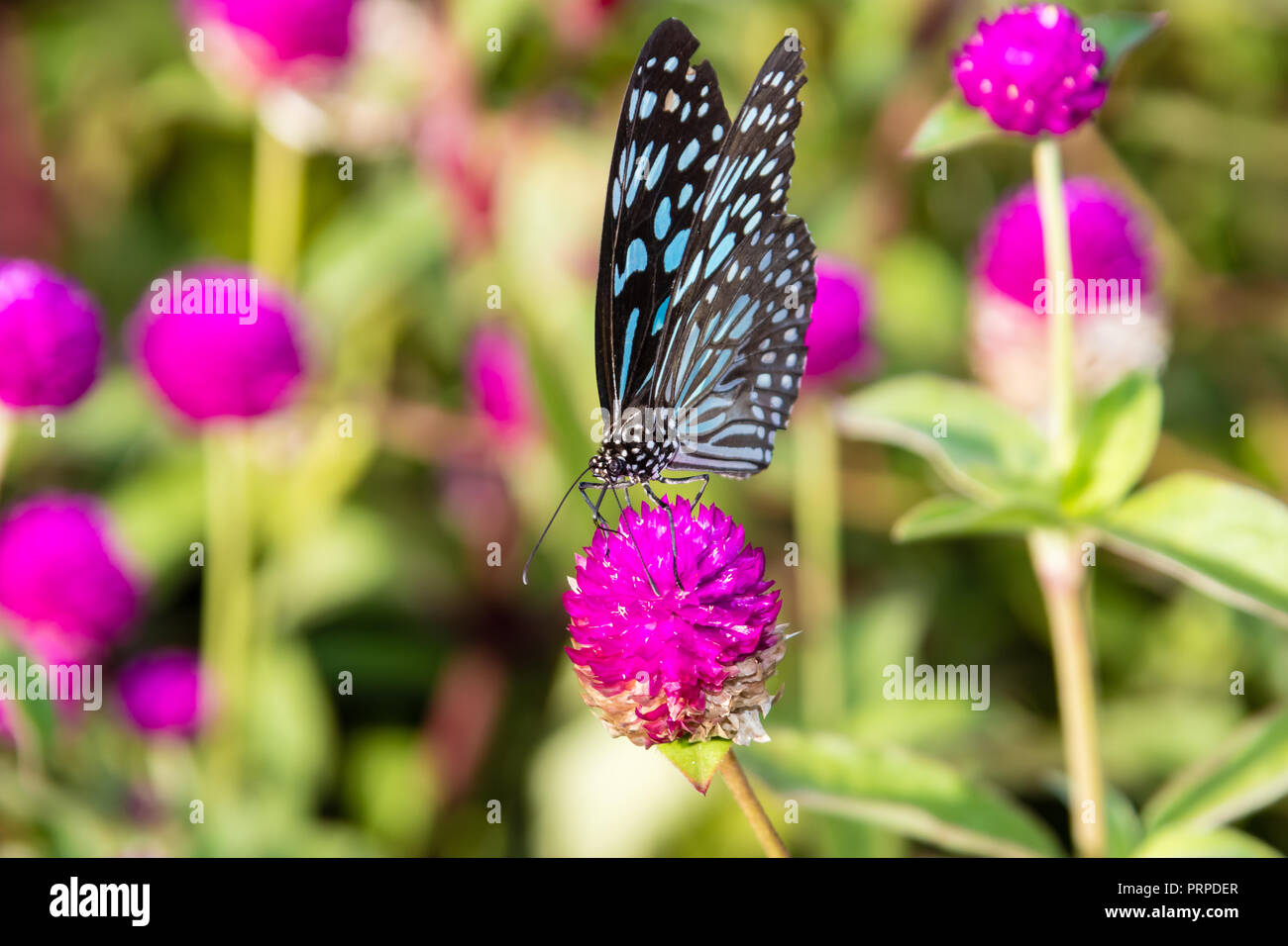 Butterfly Flowers Kerala High Resolution Stock Photography And Images Alamy