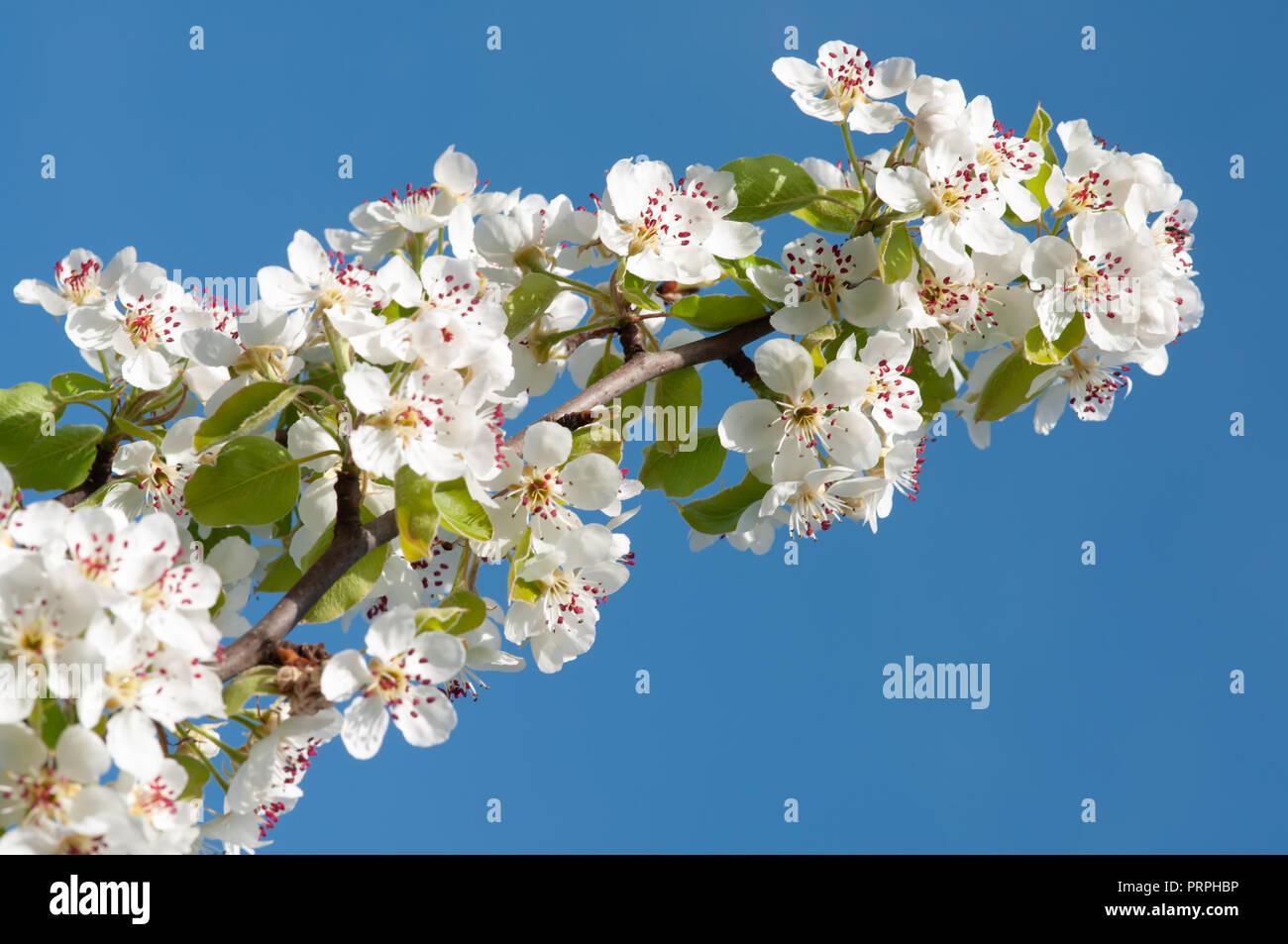 Cherry tree flowers - Stock Image