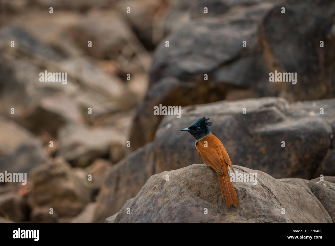 Indian paradise flycatcher, Terpsiphone paradisi, in the nature habitat, ranthambore National Park, India. Beautiful bird with long tail in sitting on - Stock Image