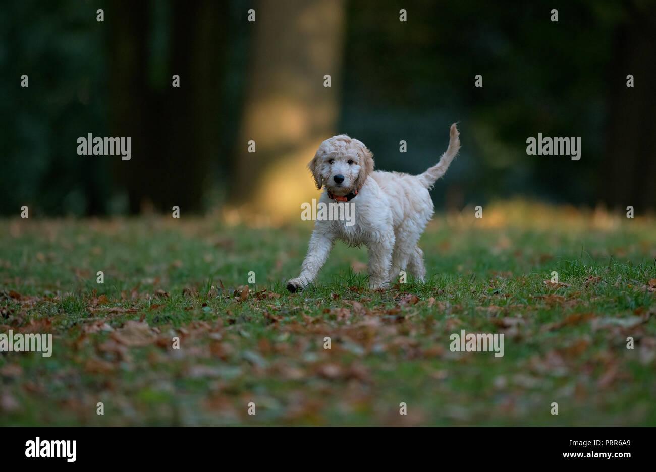 Cockapooh puppy-Canis lupus familiaris. Uk Stock Photo