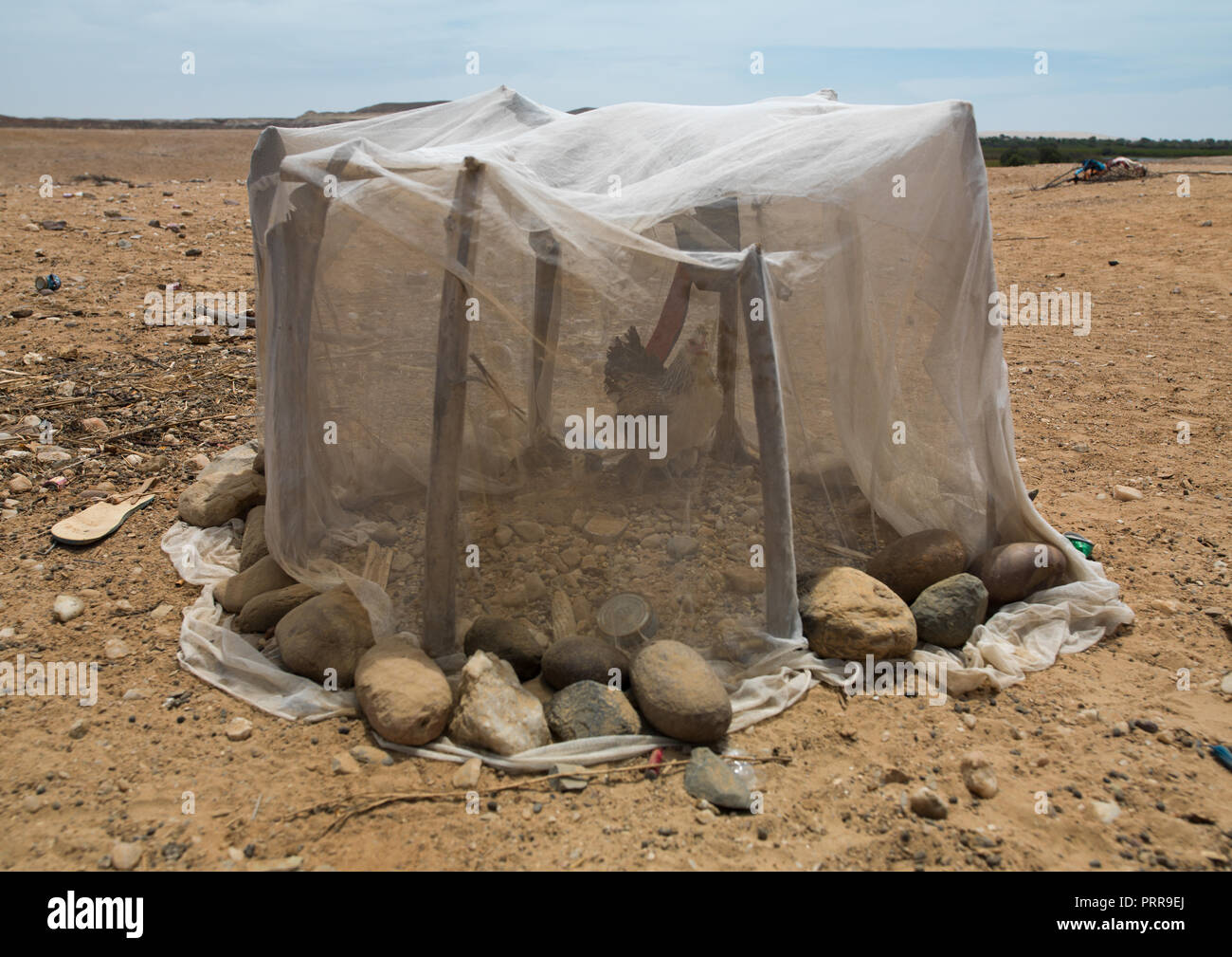 Chicken in a shelter built with a mosquito net, Cunene Province, Sao Joao Do Sul, Angola - Stock Image