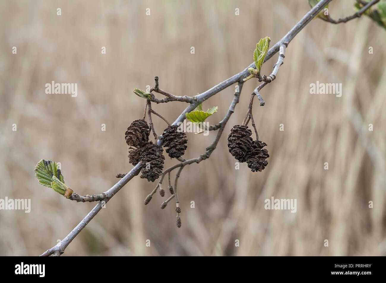 Spring alder branch in close-up. Wiosenna gałązka olszy w zbliżeniu. Stock Photo