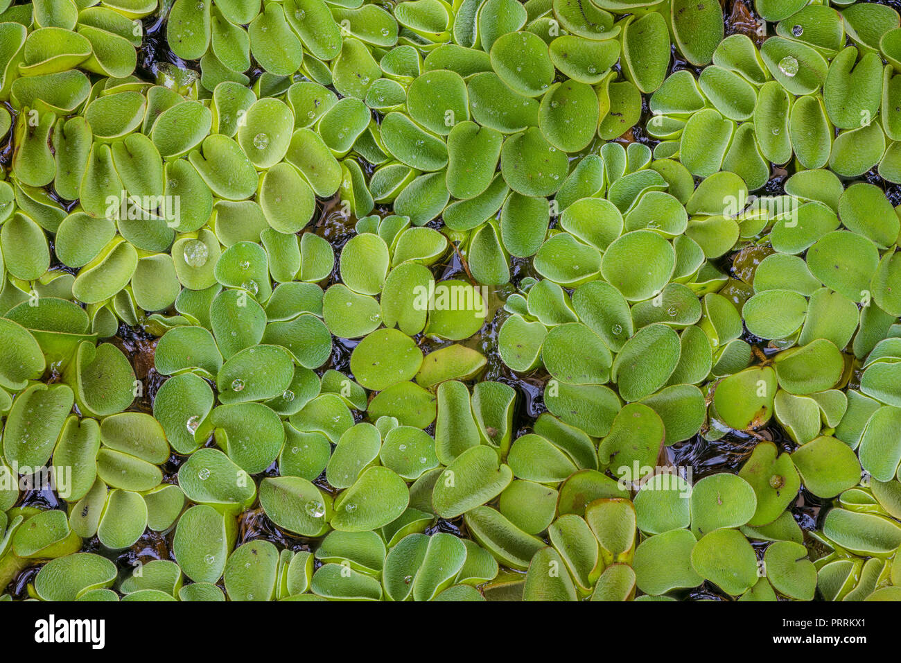Salvinia watermoss using focus stacking technique for background or pattern - Stock Image