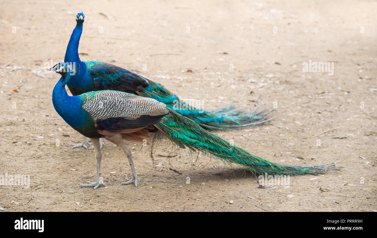 Thai peafowl in a private farm Stock Photo