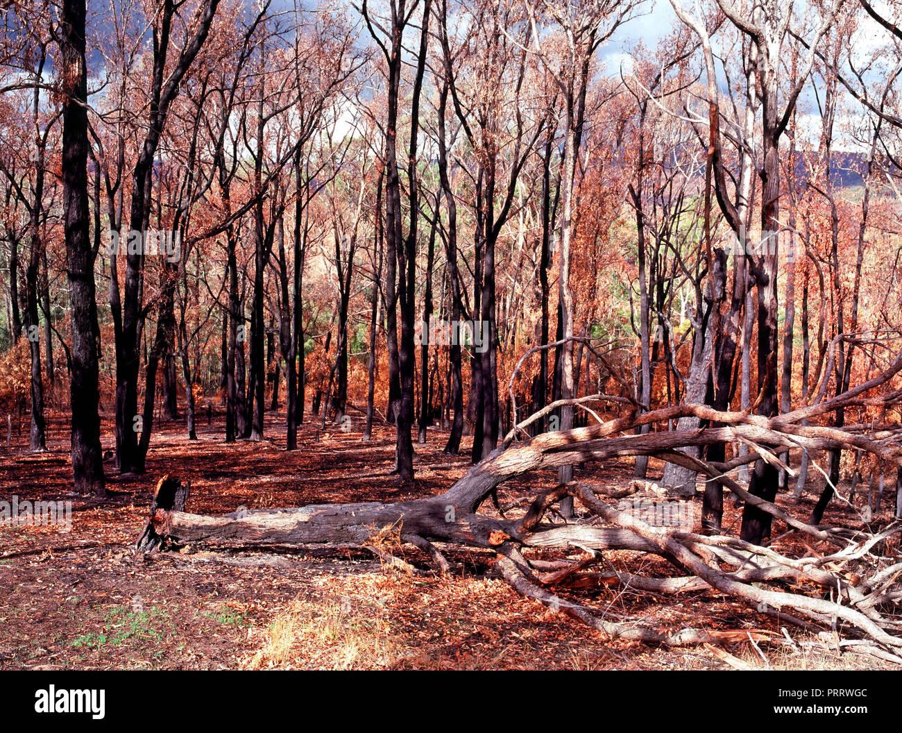 Burnt Trees and  Landscape from the 2009 Black Saturday Bushfires, Victoria Australia - Stock Image