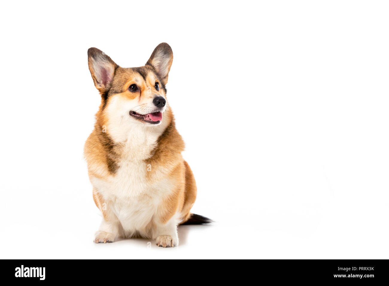 cute welsh corgi pembroke looking away isolated on white background - Stock Image