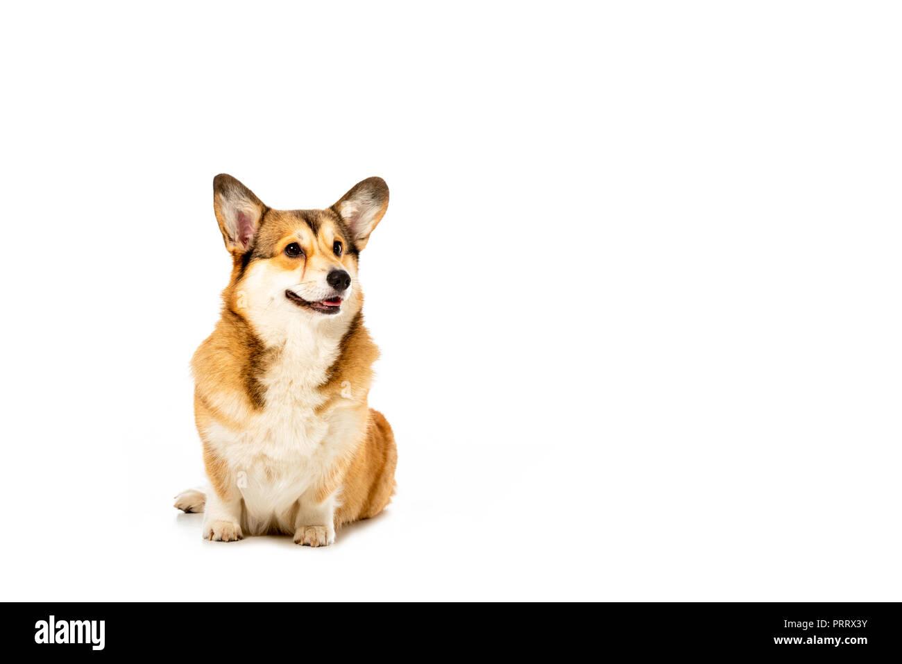 adorable welsh corgi pembroke isolated on white background - Stock Image