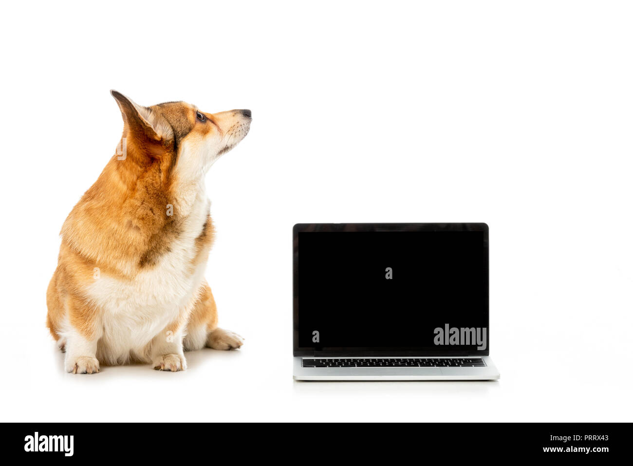welsh corgi pembroke looking away and sitting near laptop with blank screen isolated on white background - Stock Image