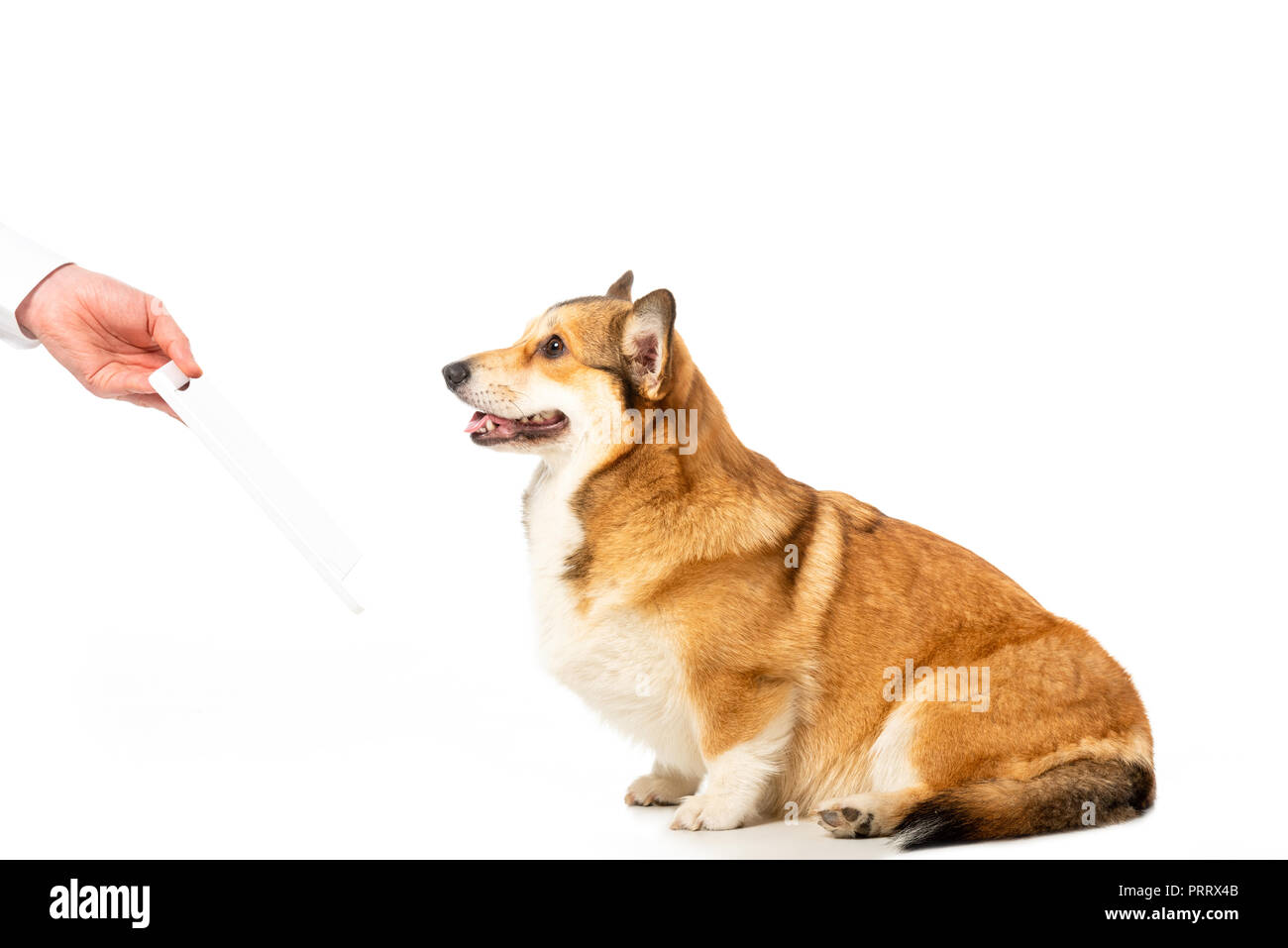 cropped image of man giving digital tablet to corgi isolated on white background - Stock Image