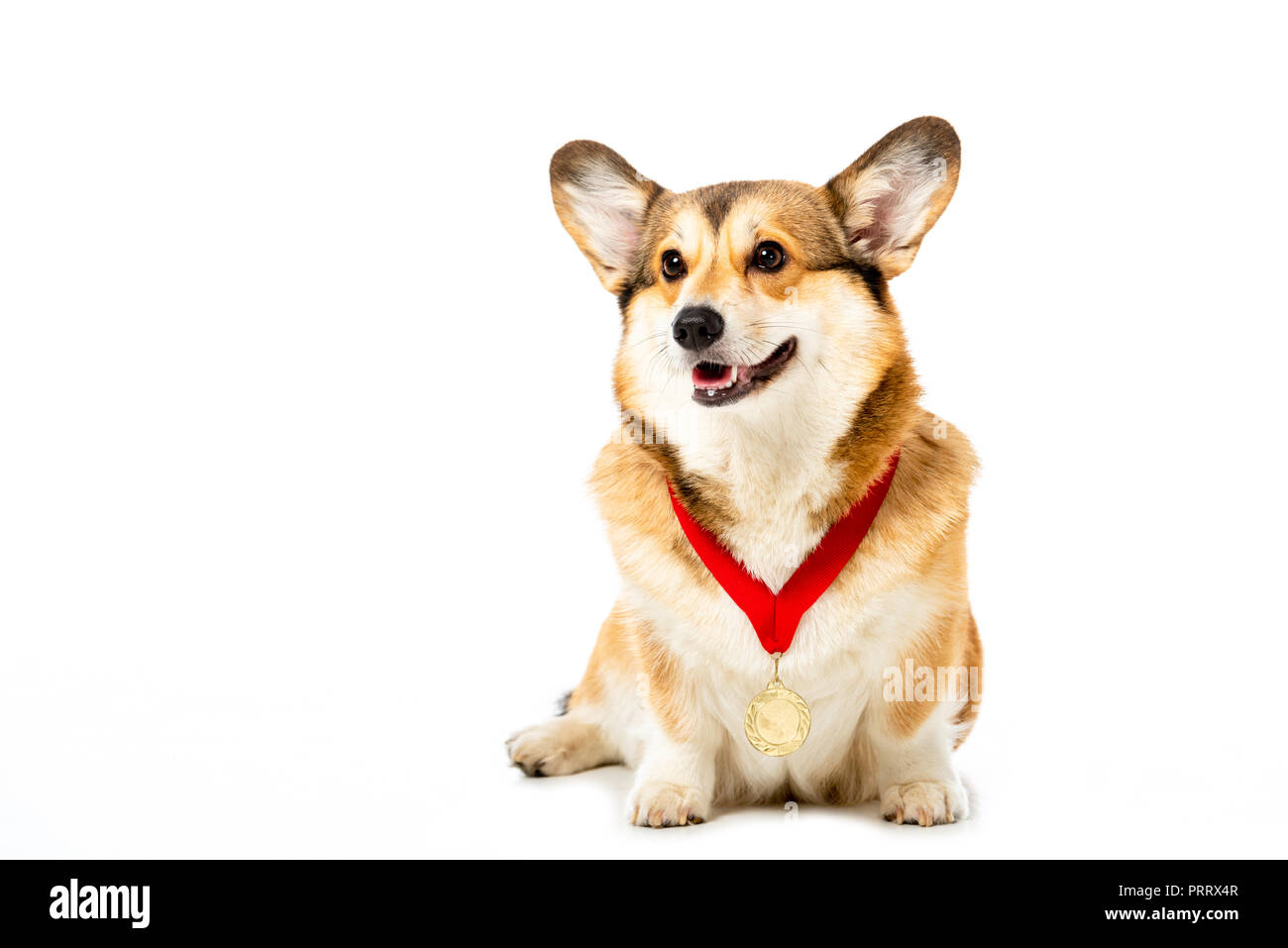 adorable welsh corgi pembroke with golden medal isolated on white background - Stock Image