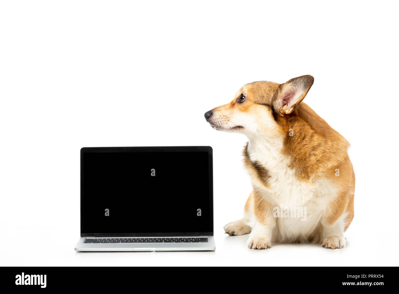 corgi looking away and sitting near laptop with blank screen isolated on white background - Stock Image