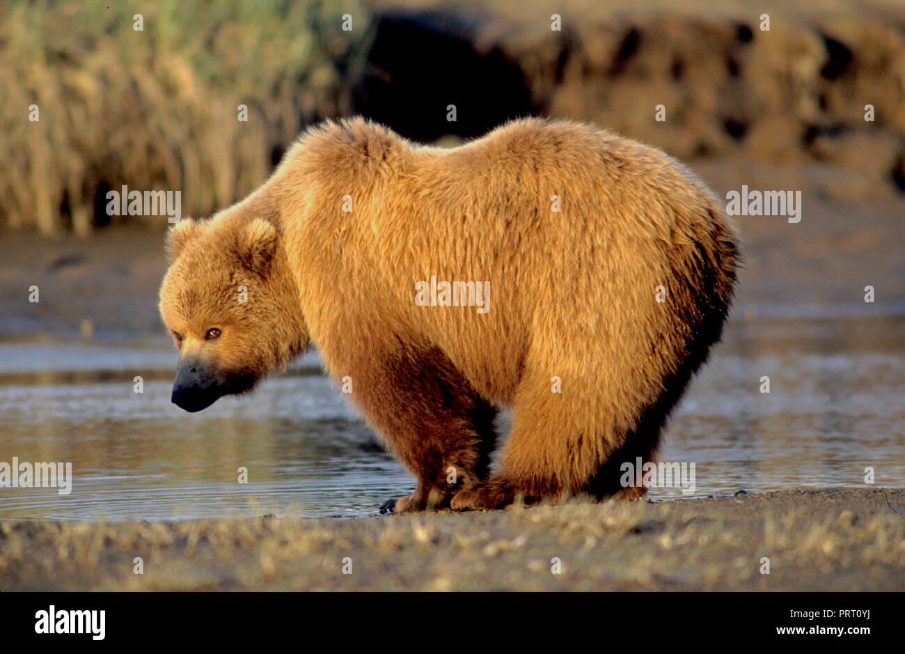 Brown bear (Ursus arctos) on tidal flat at Hallo Bay, Katmai National Park, AK Stock Photo
