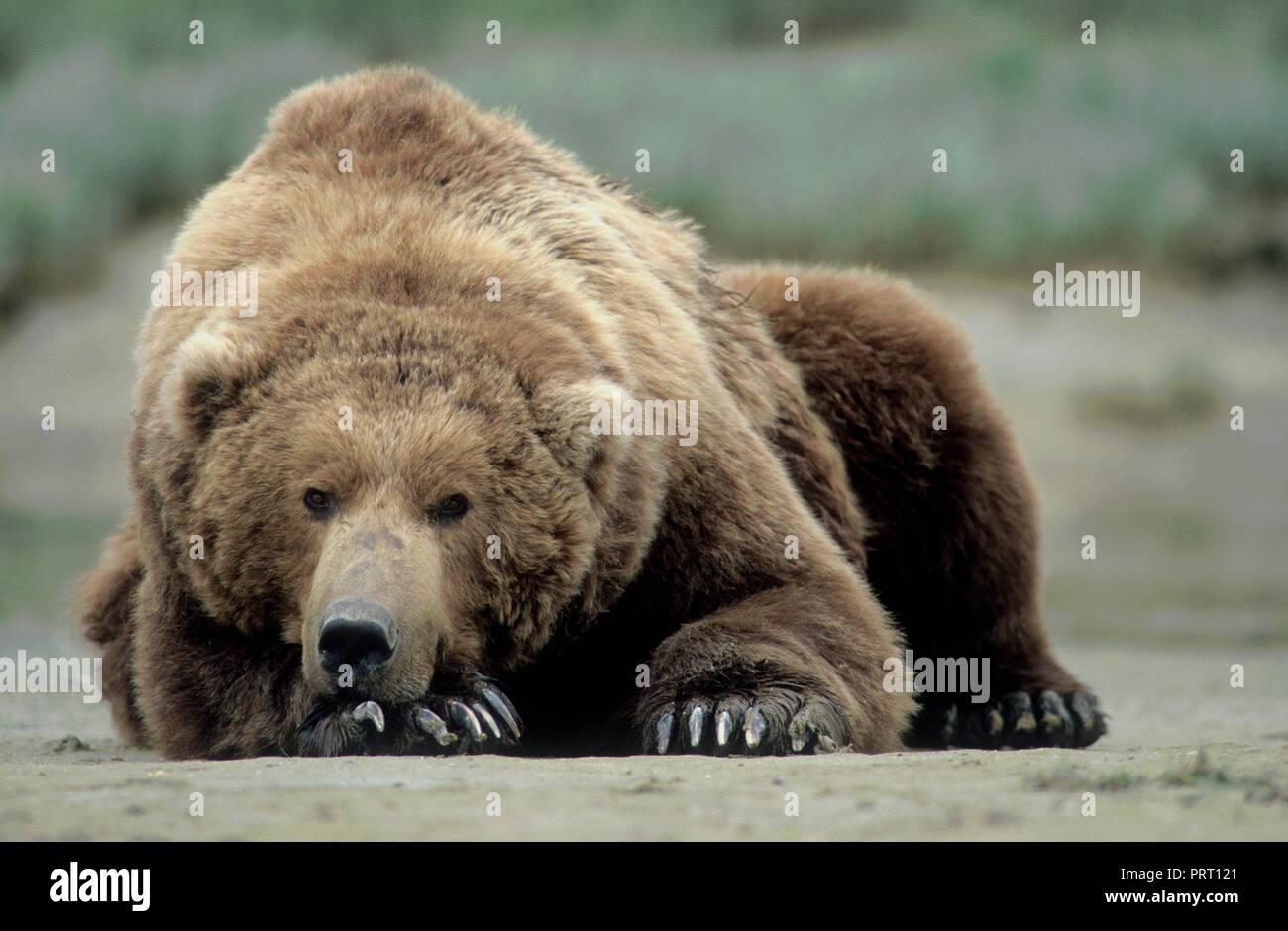 Brown bear (Ursus arctos) on tidal flat at Kukak Bay, Katmai National Park, AK Stock Photo