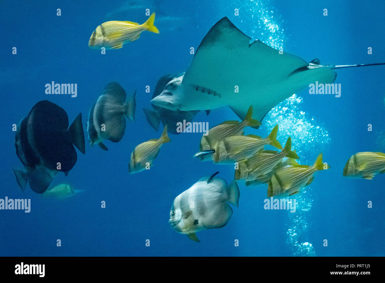 Spotted eagle ray with yellow porkfish and longfin batfish at the Georgia Aquarium in downtown Atlanta, Georgia. (USA) - Stock Image