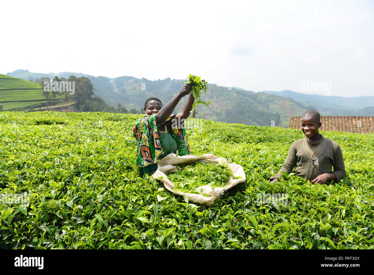 Tea plantations in north western Rwanda. Stock Photo