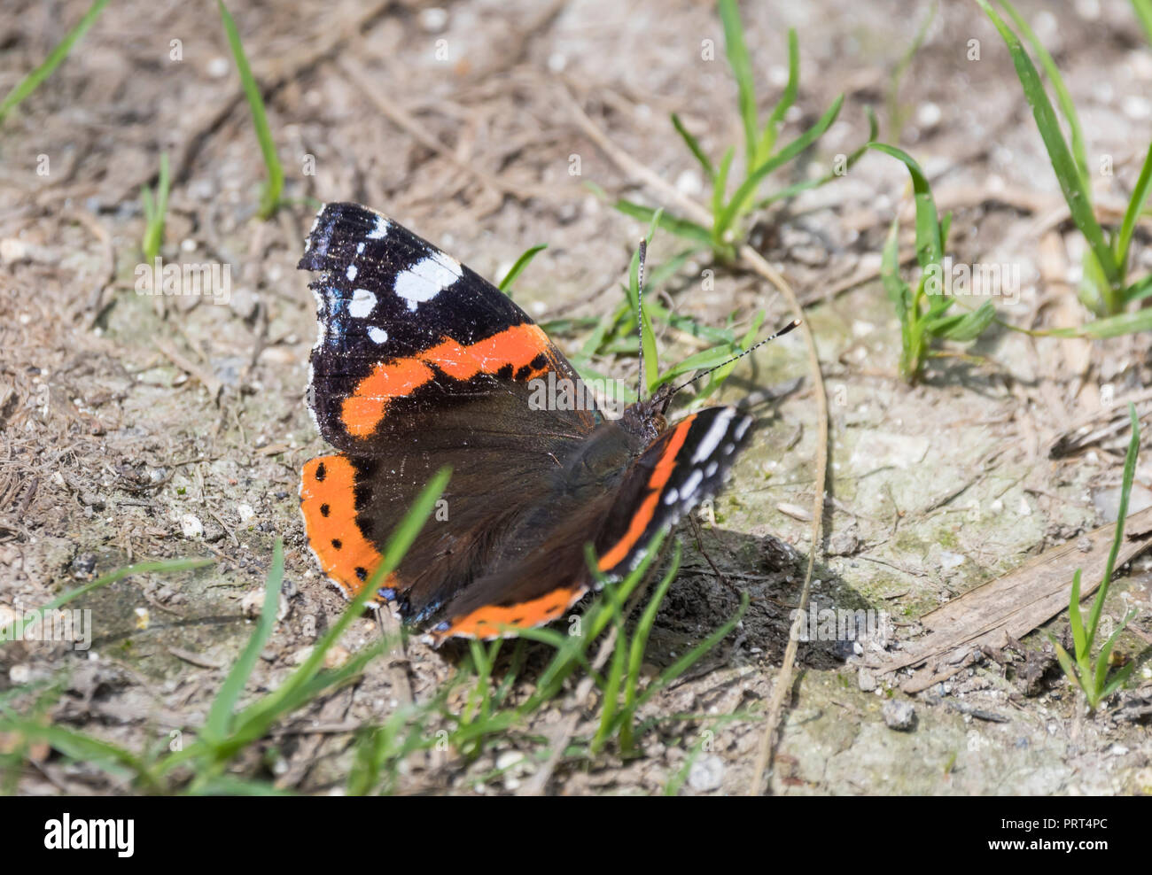 Red Admiral butterfly (Vanessa atalanta, Red admirable) on the ground in Summer in West Sussex, England, UK. - Stock Image