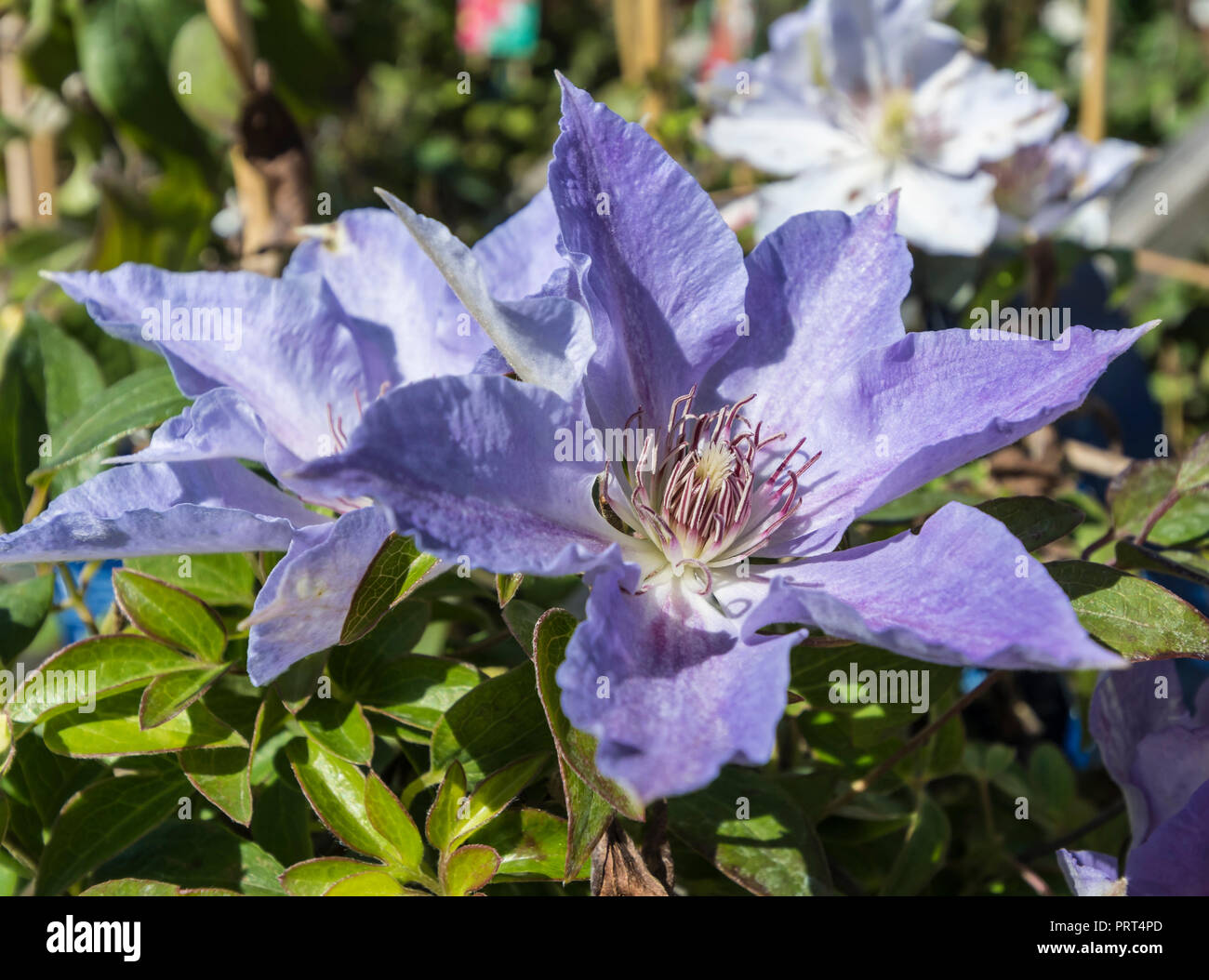 Clematis Tranquilite 'Evipo111', a pale mauve clematus flower from the Boulevard collection in Summer in West Sussex, UK. - Stock Image