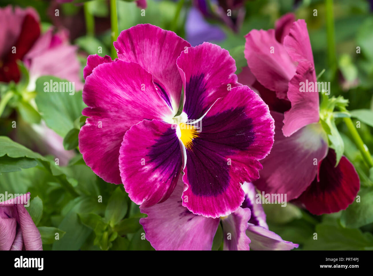 Brightly coloured vivid pink pansy flower closeup in autumn in west brightly coloured vivid pink pansy flower closeup in autumn in west sussex uk bright pink pansies mightylinksfo