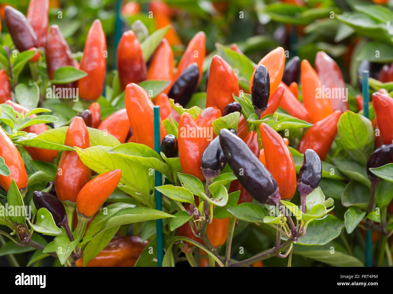 Capsicum annuum 'Zamora Orange', an Ornamental Pepper in Autumn in West Sussex, UK. - Stock Image